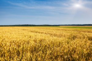 wheat-field-small